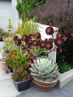 This time of year I hear that question a lot, from garden clients and from customers at Flora Grubb Gardens. Aeoniums are these beautiful rosette-forming, succulent, small shrubs and perennials. Th…
