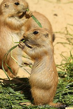 @Amber Christian  baby prairie dog    saw some of these for sale yesterday but sadly couldn't get one :/