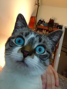 Ann Perkins the cat. She LITERALLY has the bluest eyes I have ever seen. - Imgur