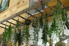 Homesteading In Maine: An Old Ladder Makes a Great Herb Drying Rack Hanging Ladder, Hanging Herbs, Diy Ladder, Ladder Decor, Hanging Flowers, Herb Rack, Herb Drying Racks, Herb Garden, Home And Garden