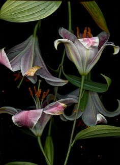 utobia:  Lily Blooms 2.2 (partial edit)Floral Decay scan by Toby BraunJun 2014