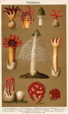 I have not seen this botanical mushroom illistration before