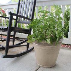 Citronella Mosquito Plant Brighter Blooms