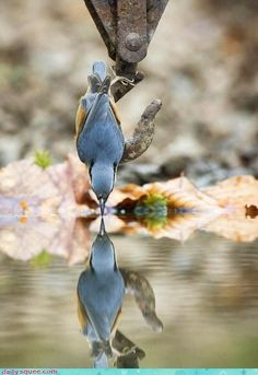 Nuthatch getting a drink. Twisting the door's reflected image into the reflected image of this nuthatch. Photo by Mark Hancox Pretty Birds, Love Birds, Beautiful Birds, Animals Beautiful, Hello Beautiful, Like Animals, Cute Baby Animals, Tier Fotos, Mundo Animal