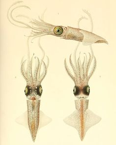 """""""Mi piace"""": 802, commenti: 4 - Biodiversity Heritage Library (@biodivlibrary) su Instagram: """"This squid's been #bedazzled! Oh wait, no, those are just its photophores, the light producing…"""""""