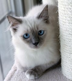 Gracie – Ragdoll of the Week http://www.floppycats.com/gracie-ragdoll-of-the-week-2.html