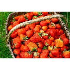 Où cueillir des fraises en Alsace ?
