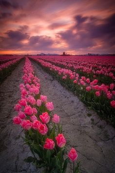 Holland Pink Tulip Fields