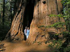 "... Huge ""Goose Pen"" Tree Along Overlook Trail, Calaveras Big Trees State Park ..."