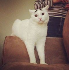 1471abb7c3 Sam the Cat With Worried Eyebrows - Remliel. Cat ExpressionsCat BreedsTurkish  Van ...