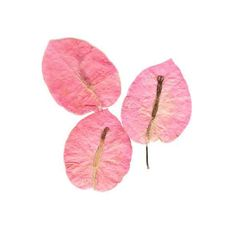Pressed Pink Bougainvillaea, Pressed Flowers - Dried Pressed Flowers (€3,98) ❤ liked on Polyvore featuring home, home decor, floral decor, fillers, flowers, plants, decor, flora, pink flower tree and flower stem