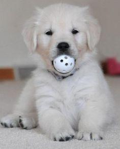 Golden Retriever baby….  already practicing his ball fetch