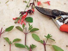 Tout savoir surcette jolie plante arbustive qui offre une longue floraison du printemps à l'automne et nécessitepeu d'entretien.