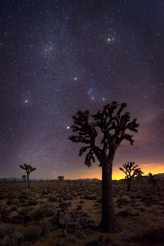 20 foot Joshua Trees silhouetted by our view of the cosmos. Death Valley USA [OC][13352000] #reddit