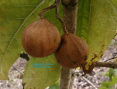 Spanish Tamarind: Rare Fruit Seeds and Exotic Tropical Fruit Seeds