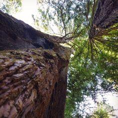 Redwoods at our campsite. 🌲🌲🌲 Portola Redwoods State Park