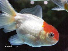 Boina roja, pez de acuario de agua fria.
