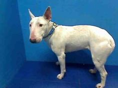ANITA is an adoptable Bull Terrier Dog in Brooklyn, NY.  ...
