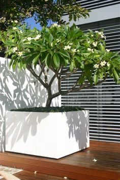extra large planters - frangipani ... love this idea. Either for the corner in the courtyard or front in front of the gates, either side of the entrance