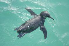 GPS92-Penguin-Swimming-in-Isabela.jpg (800×533)