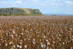 Poppy fields near Stanley Tasmania, Poppy Fields, My Dream Came True, Beautiful Places To Visit, North West, West Coast, Wilderness, Poppies, Earth