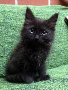 Owl eyes. Cute black kitten