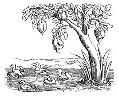 Barnacle_Geese_Fac_simile_of_an_Engraving_on_Wood_from_the_Cosmographie_Universelle_of_Munster_folio_Basle_1552.