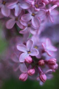Free Image on Pixabay - Lilac, Flowers, Purple, Bokeh Free Pictures, Free Images, Lilac Flowers, Macro Photography, Bokeh, Botany, Bloom, Landscape, Purple
