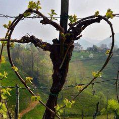heart shaped vine