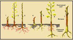 Получение карликовых деревьев яблони при помощи прививки:
