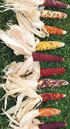 Decorative Mini Indian Corn is another great way to start fall.
