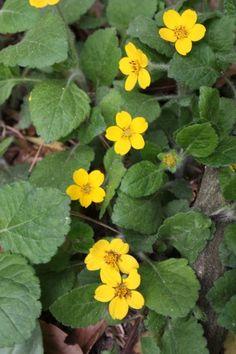 Chrysogonum virginianum Pierre