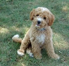 Cavalier King Charles Spaniel – Graceful and Affectionate Labradoodle Breeders, Cavapoo Puppies, Australian Labradoodle, Cute Puppies, Cute Dogs, Goldendoodles, Labradoodles, Cockapoo Grooming, Puppies Puppies