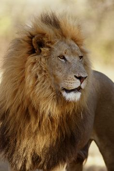 An African Male Lion Watching Over His Pride of Lionesses.