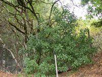 Heteromeles arbutifolia - Toyon