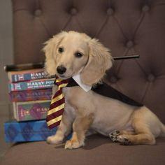 Por que não fantasiar o cachorro para o Halloween? Harry Potter Dog Costume, Harry Potter Pets, Fantasia Harry Potter, Best Dog Costumes, Circle Of Life, Cute Pictures, Halloween, Cute Animals, Kawaii