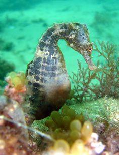 Seahorse-Hippocampus bleekeri Rye Pier Victoria Australia