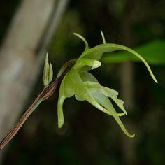 Aeranthes strangulata - Flickr - Photo Sharing!