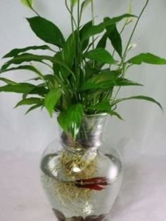 Jar- peace lily, and just add a beta
