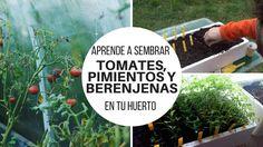 Aprende a sembrar tomates, pimientos y berenjenas en tu huerto