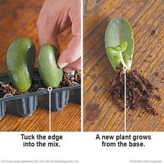to root succulents with leaf cuttings Free succulents! Rooting succulents is simple with these helpful tips. Rooting succulents is simple with these helpful tips. Crassula Succulent, Propagating Succulents, Growing Succulents, Succulent Gardening, Succulent Terrarium, Cacti And Succulents, Growing Plants, Planting Succulents, Gardening Tips