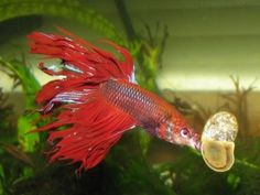 A good rule of thumb at feeding time is this… A betta's stomach is about as big as his eyeball and should not be fed more that amount at a time. This translates to about 3 bloodworms or brine shrimp per feeding. If you feed pellets, this equals about 2-3 soaked pellets per feeding. A betta can be fed this amount once or twice a day.