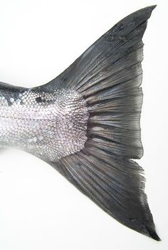 Did you know there is a company working on a solution to estimate the height and weight of a fish based on its tail measurements? This would allow fishing tournaments to catch and release their fish! Foto Picture, Zoom Photo, Fotografia Macro, Fish Scales, Tier Fotos, Fish Art, Sea Creatures, Textures Patterns, The Little Mermaid