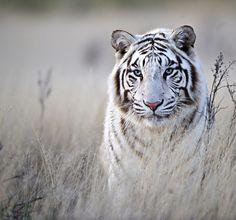 Tiger in White by Bridgena Barnard on 500px