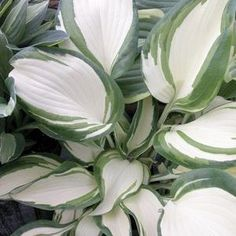 """Dancing in the Rain"" Hosta...."