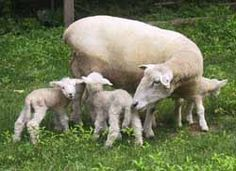 8 Best Sheep images in 2012   Fluffy animals, Lamb, Like animals