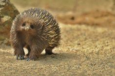 Ježura australská