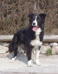 I really want a Border Collie :)