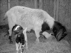 Goat birthing and raising kids ~ Backwoods Home Magazine - Jackie Clay