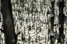 Instituto Nacional de Ciência e Tecnologia para Mudanças Climáticas apresentou resultados de pesquisas sobre a variabilidade do clima na região e no país (foto: manguezal em Guaratiba, Rio de Janeiro/Léo Ramos-Pesquisa FAPESP)